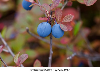 A great bilberry sprig with two ripe berries.