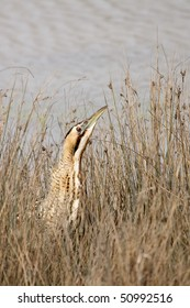 A Great Bittern (Botaurus stellaris) hiding in the grass, national park area of Evros Estuary (Greece)