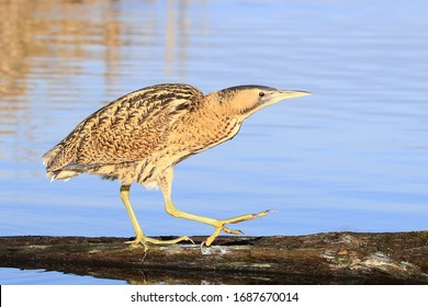 Great bittern (Botaurus stellaris) standing on a branch in the water against a blue background
