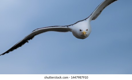 Great black backed gull diving out of the sky in a threatening manner to protect chicks