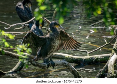 Great black cormorant spreading wings standing on a branch