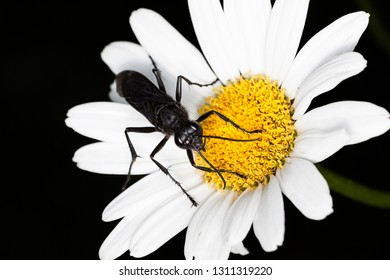 A great black wasp searches for necter on a shasta daisy. The white petals stand out on the black background.