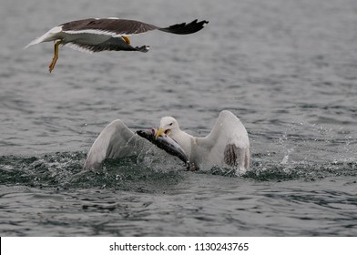 Great black-backed gull catch the fish, romsdalfjord, norway,