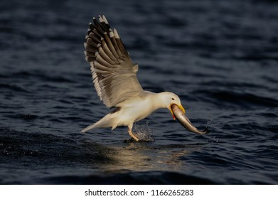 Great black-backed gull catch the fish and fly up, romsdalfjord, norway, (larus marinus)