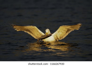 Great black-backed gull catch the fish, romsdalfjord, norway, (larus marinus)