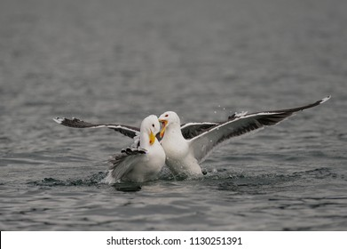Great black-backed gull fight for food, romsdalfjord, norway,