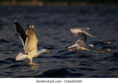 Great black-backed gull fight for food with herring gull, romsdalfjord, norway, (larus marinus, larus argentatus)