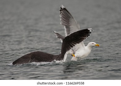 Great black-backed gull fight for food, romsdalfjord, norway, (larus marinus)