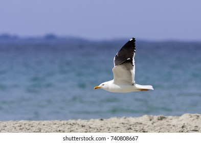 The great black-backed gull flies above a beach. A large predator by the North Atlantic coast.