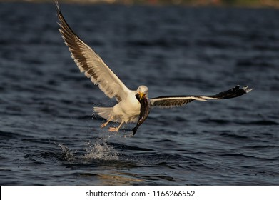 Great black-backed gull flight up with fish, romsdalfjord, norway, (larus marinus)