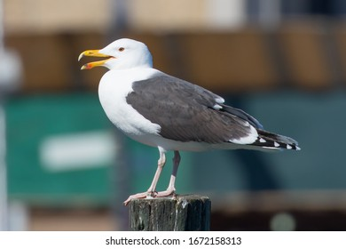 Great Black-backed Gull, (Larus marinus) in profile