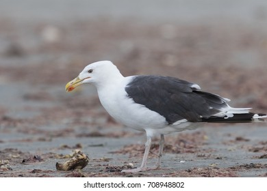 Great black-backed gull (Larus marinus), also known as the greater black-backed gull feeding wih crab