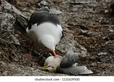 Great black-backed gull predator