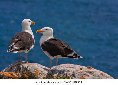 Great black-backed gulls (Larus marinus) standing on rocks looking out to blue sea North Atlantic ocean. Two seabirds largest gulls at Irish coast, Saltee Islands, Ireland, Europe