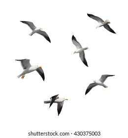 Great black-backed gulls. Set of big flying seagulls isolated on white background