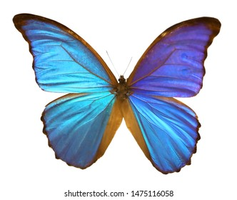 great blue butterly with big wings on white background