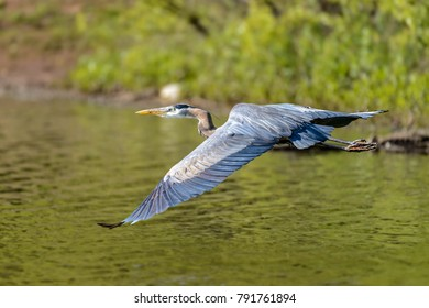 Great Blue Heron (Ardea cinerea) flying over the river