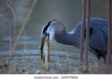 Great Blue Heron (Ardea herodias) Eating a Fish Bosque del Apache National Wildlife Refuge New Mexico