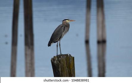 Great Blue Heron (Ardea Herodias) - Pacific Northwest