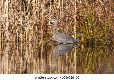 Great blue heron (Ardea herodias) wading at the edge of a pond on the first day of spring at Magnuson Park, Seattle.