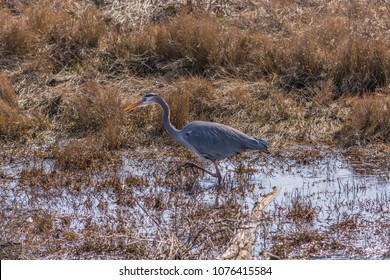 Great blue heron (Ardea herodias) wading and hunting in a marsh photographed from Boundary Bay Trail, Delta, British Columbia, Canada, between 64th and 72nd Street in late winter.