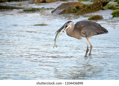 Great Blue Heron ( Ardea Herodias) killing and eating a fish in shallow water on the Gulf of Mexico near St. Pete Beach, Florida.