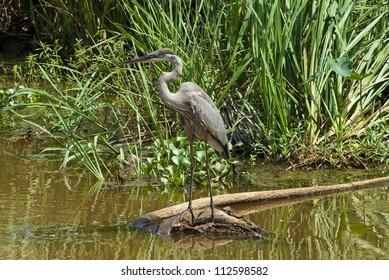 A Great Blue Heron (Ardea herodias) in a salt marsh.