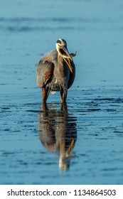 A great blue heron, ardea herodias, catches a fishin Garibaldi Bay in northwest Oregon.