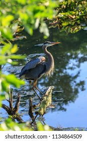 Great blue heron, ardea herodias, stands on a log near Seaside, Oregon.