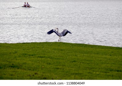 The great blue heron (Ardea herodias) is a large wading bird in the heron family Ardeidae, common near the shores of open water and in wetlands over most of North America and Central America, as well,