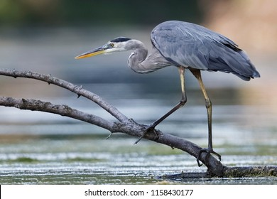 Great Blue Heron (Ardea herodias) stalking its prey from a partially submerged log - Ontario, Canada