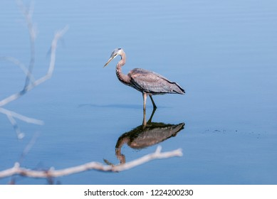 Great Blue Heron (Ardea herodias) in Devereux Slough, California, USA
