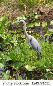 Great Blue Heron (Ardea herodias) wades through the wetlands of Everglades National Park of Florida