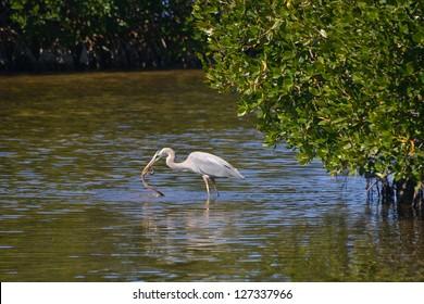 Great Blue Heron, Ardea herodias, Catches Mangrove Salt Marsh Snake, Nerodia clarkii compressicauda, on Sanibel Island, Florida.