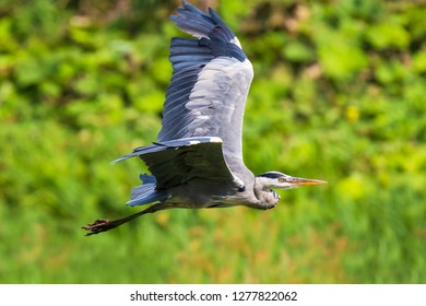 Great blue heron (Ardea herodias) waterfowl bird in flight with his wings spread and green backdrop