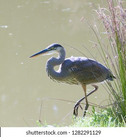 Great blue heron (Ardea Herodias) wading along the edge of a pond
