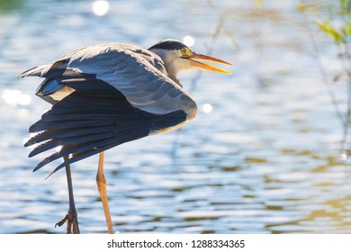 Great blue heron Ardea herodias in search of food in water of a lake near reeds on a bright sunny day