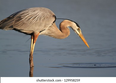 Great Blue Heron (Ardea herodias) Stalking its Prey- Fort Myers Beach, Florida