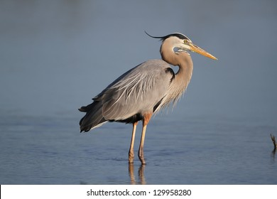 Great Blue Heron (Ardea herodias) - Fort Myers Beach, Florida