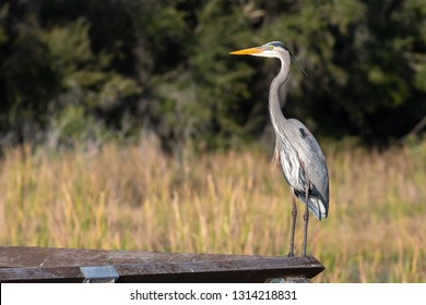 A Great Blue Heron (Ardea herodias) perches on the railing of a boardwalk. The Great Blue Heron is the largest heron species in North America.