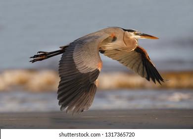 Great Blue Heron (Ardea herodias) flying over a barrier island beach - Jekyll Island, Georgia