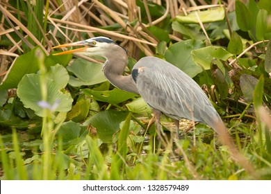 Great blue heron, Ardea herodias, standing with its bill open, among aquatic vegetation in a swamp at Orlando Wetlands Park in Christmas, Florida.