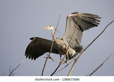 great blue heron or Ardea herodias landing on a tree branch on a windy day