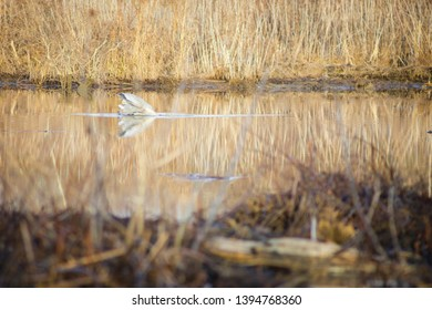 Great blue heron (Ardea herodias) dipping its head underwater in a lake in Occoquan Bay National Wildlife Refuge