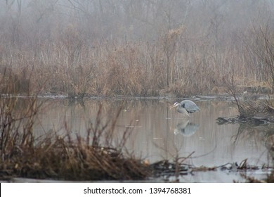 Great blue heron (Ardea herodias) standing in a lake and holding a fish in its mouth in Occoquan Bay National Wildlife Refuge