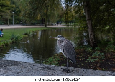 Great blue heron or Ardea herodias in Amsterdam vondelpark near the pond grey yellow eye