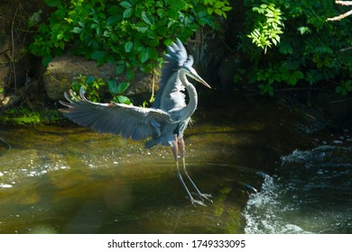 Great blue heron, Ardea herodias, landing with wings outstretched in a rapids of Broad Brook, in Connecticut.