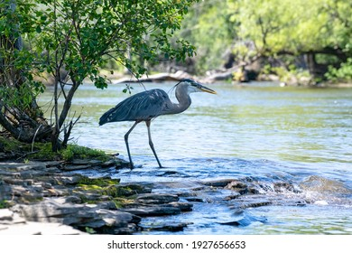 Great blue heron (Ardea herodias) standing in the Ottawa River, gripping a fish in its bill. This beautiful bird caught fish after fish while staying in the same spot.