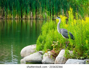 The great blue heron (Ardea herodias) is a large wading bird in the heron family Ardeidae, common near the shores of open water and in wetlands over most of North America and Central America