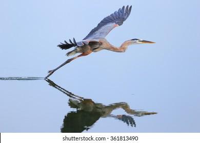 Great blue heron (Ardea herodias) flying above the water